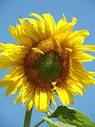 Sunflower Photos - Dylans Sunflower by Tina Grimes
