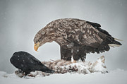 Feeding Birds Posters - Eagle and Raven Poster by Andy Astbury