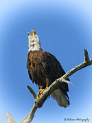 Pasco County Prints - Eagle calling Print by Barbara Bowen
