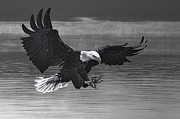 Dan Friend - Eagle coming in for fish