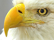 Bald Eagle Framed Prints - Eagle Eye Framed Print by Shane Bechler