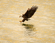 Eagles Photographs Posters - Eagle fishing at dusk Poster by John Holen