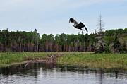 Dan Friend - Eagle flying over beaver dam