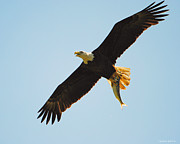 Flying Eagles Prints - Eagle Flying With Fish III Print by Jai Johnson