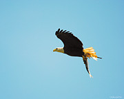 Flying Eagles Prints - Eagle Flying With Fish V Print by Jai Johnson