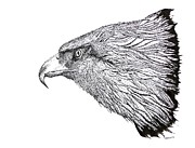 Bald Eagle Artwork Drawings Metal Prints - Eagle Head drawing Metal Print by Mario  Perez