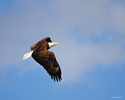 Eagle Metal Prints - Eagle in Flight 3 Metal Print by Jai Johnson