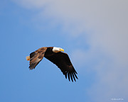 Eagle Metal Prints - Eagle in Flight 4 Metal Print by Jai Johnson