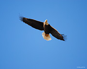 Eagle Metal Prints - Eagle in Flight 5 Metal Print by Jai Johnson