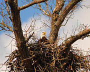 Eagle Metal Prints - Eagle in Nest  Metal Print by Jai Johnson