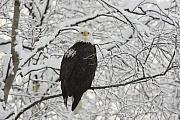 Adult Framed Prints - Eagle in Snow Framed Print by Tim Grams