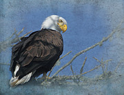 Tree Limbs Framed Prints - Eagle Intensity Framed Print by Angie Vogel