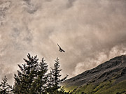 Chuck Kuhn Prints - Eagle Landing Print by Chuck Kuhn