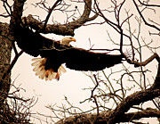 National Symbol Photos - Eagle Landing by Robert Frederick