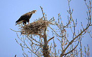 Mixed Media Photos - Eagle on Blue Harring Nest Colorado.  by James Steele