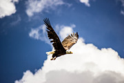 Dean Chytraus - Eagle over Yellowstone