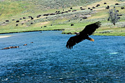 Randall Branham - Eagle over Yellowstone River