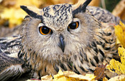 Birds Posters - Eagle Owl Poster by Anonymous