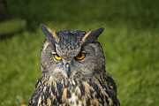Nature Study Photo Prints - Eagle Owl Print by Clare Bambers