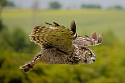 Dave Cawkwell - Eagle Owl in Flight
