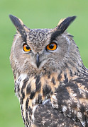 Headshot Framed Prints - Eagle Owl Framed Print by Karl Wilson