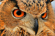 Leslie Kirk Framed Prints - Eagle Owl Framed Print by Leslie Kirk