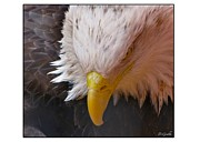 Bald Pyrography Posters - Eagle Portrait Poster by Darlene Grubbs