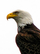 American Bird Posters - Eagle Portrait Poster by Robert Bales