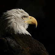 Eagle Framed Prints - Eagle Profile 1 Framed Print by Ernie Echols