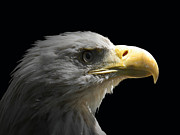 Eagle Photos - Eagle Profile 5 by Ernie Echols