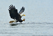 American Eagle Photos - Eagle Talons Up by William Jobes
