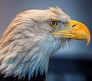 Eagle-eye Metal Prints - Eagle With An Attitude Metal Print by Bill Tiepelman