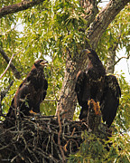 Flying Eagles Prints - Eaglets A Final Portrait Print by Jai Johnson