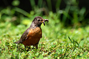 Connecticut Digital Art Prints - Early Bird American Robin Print by Christina Rollo