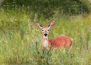 Deer Pastels Posters - Early June Field Poster by Barb Kirpluk