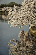 Reflections In River Prints - Early morning Cherry Blossoms at the Tidal Basin Washington DC 113 Print by Mark Serfass