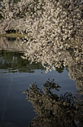 Reflections In River Prints - Early morning Cherry Blossoms at the Tidal Basin Washington DC 131 Print by Mark Serfass