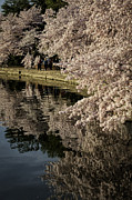 Reflections In River Prints - Early morning Cherry Blossoms at the Tidal Basin Washington DC 143 Print by Mark Serfass
