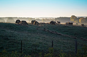 Miss Dawn - Early Morning Cows In...