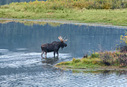 Bull Moose Prints - Early Morning Crossing in Grand Teton Print by Sandra Bronstein