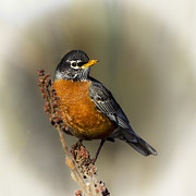 Barbara Smith Posters - Early Spring Robin Poster by Barbara Smith