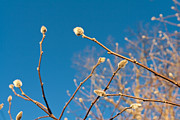 Isolated On Blue Background Framed Prints - Early Spring Willow Buds  Framed Print by Jim Pruitt