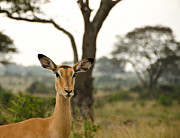 Gazelle Framed Prints - Ears Framed Print by Aaron S Bedell