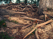 Tree Roots Photos - Earthbound by Wendy J St Christopher