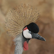Cranes Prints - East African Crowned Crane Print by Ernie Echols