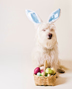 Funny Metal Prints - Easter Bunny Westie Metal Print by Edward Fielding