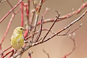 Natural Focal Point Photography - Easter Finch 2