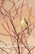 Natural Focal Point Photography - Easter Finch