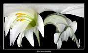 Rose Santuci-sofranko Posters - Easter Lilies Abstract Poster by Rose Santuci-Sofranko