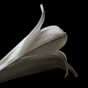 Burton Framed Prints - Easter Lily I Framed Print by Jeff Burton